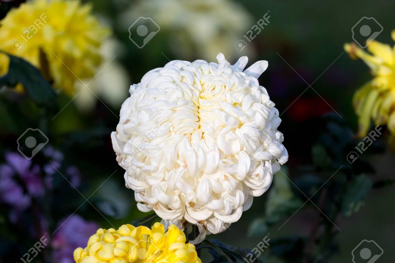 Beautiful big white chrysanthemum flower grow in the field stock beautiful big white chrysanthemum flower grow in the field stock photo 69788916 mightylinksfo
