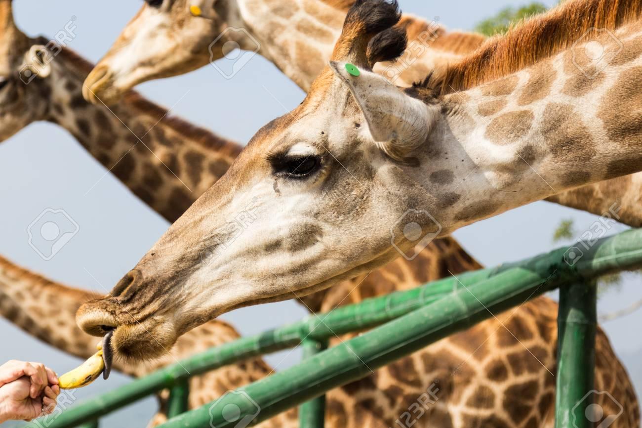 Man Feeding Banana To Giraffe In Zoo Close Up Stock Photo Picture