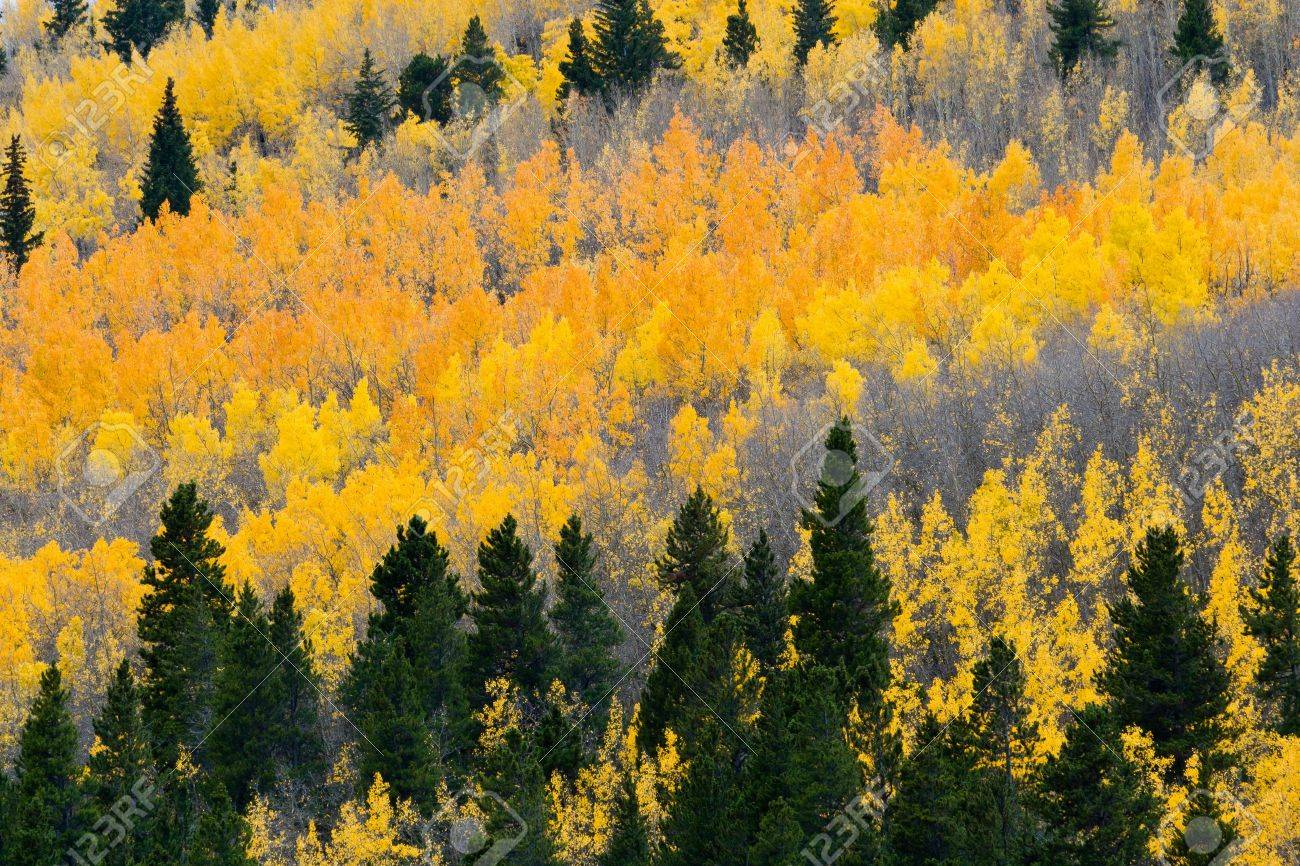 Colorful Fall aspen forest in the Colorado Rocky Mountains Stock Photo - 13706489