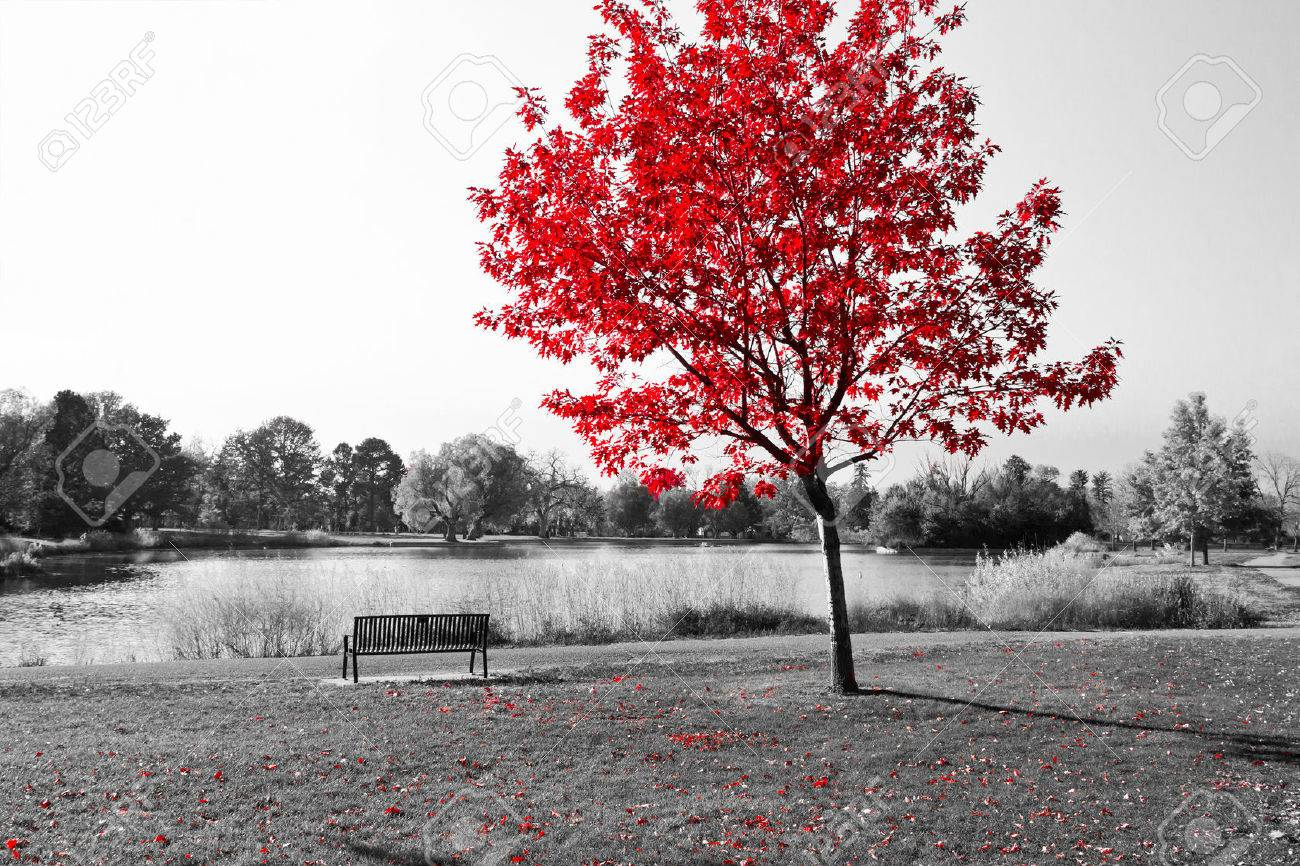 Empty park bench under red tree in black and white stock photo 35866494
