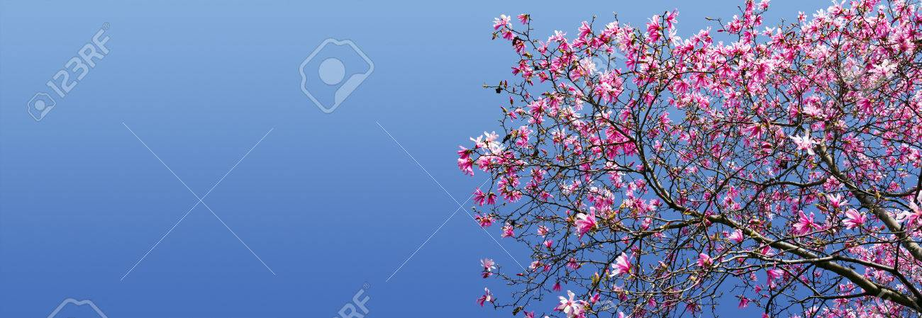 Spring Flowers Blooming On Magnolia Tree Against Blue Sky Background