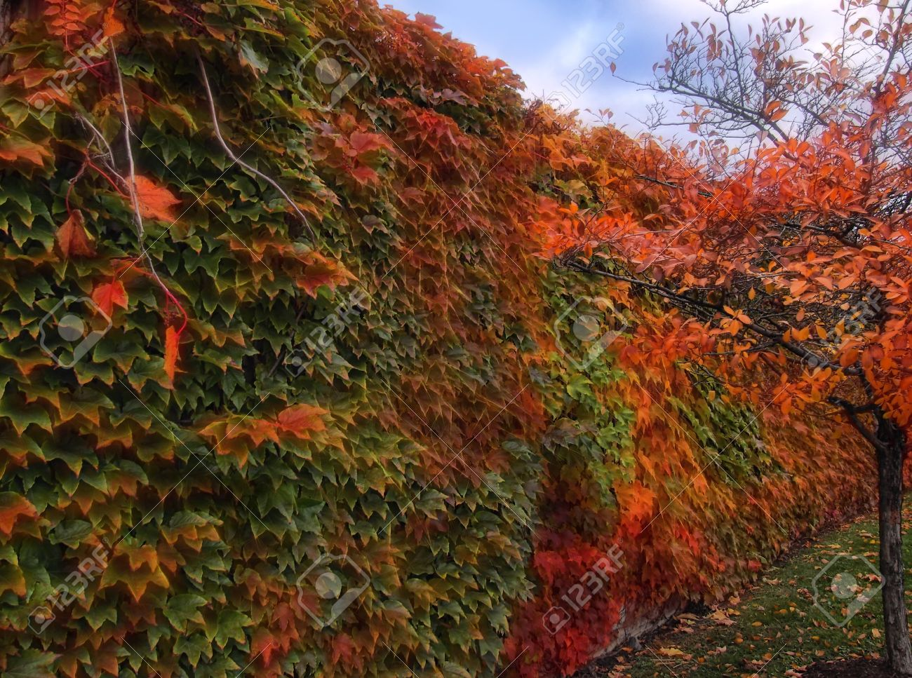 Ivy Changing Colors For Fall Covering A Garden Wall