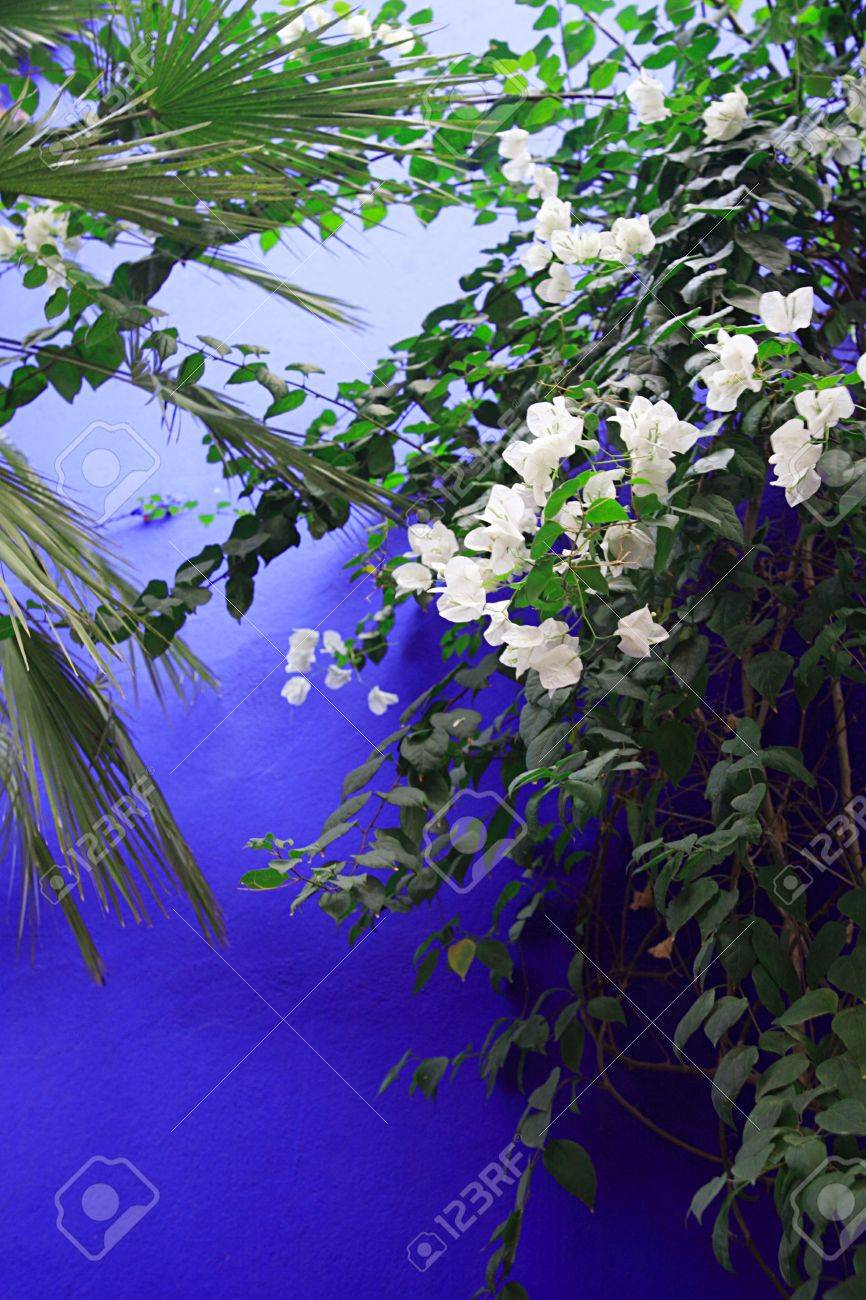 White Flowers Against A Vivid Blue Wall Morocco North Africa Stock