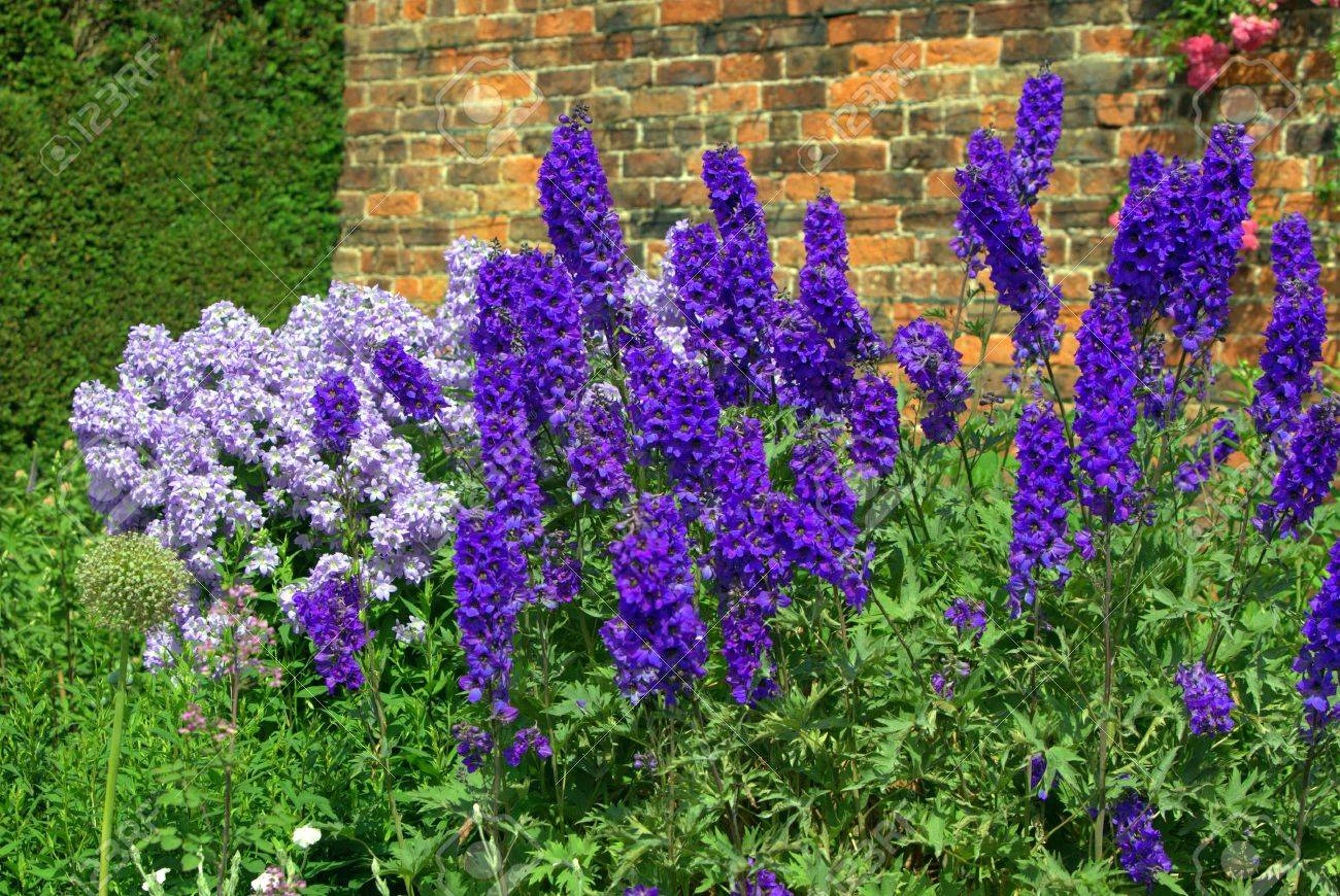 Blue delphinium and campanula flowers in a garden - 16759579