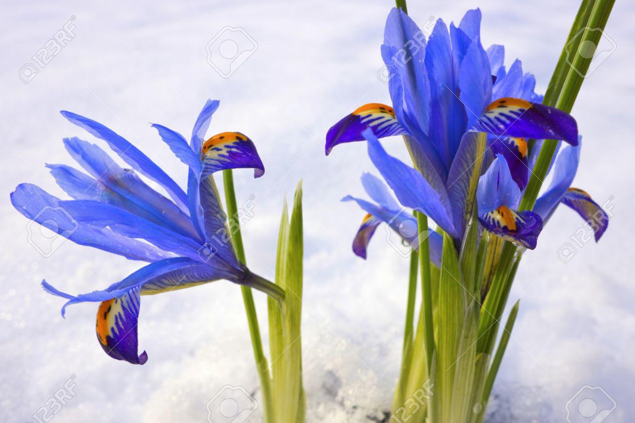 Blue winter flowers Iris Reticulata Gordon in snowy garden. - 17703218