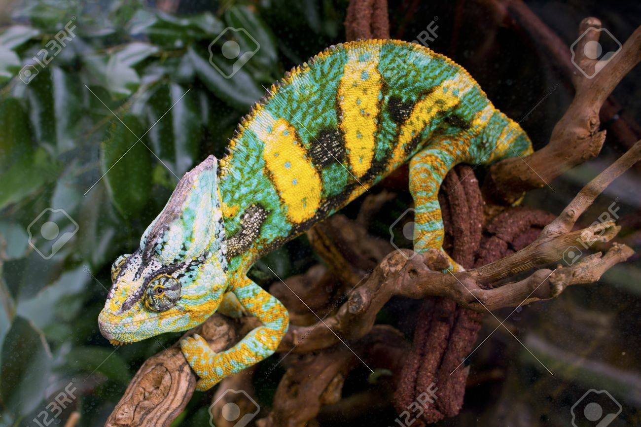 Bllue And Yellow Chameleon In Glass Terrarium Stock Photo Picture