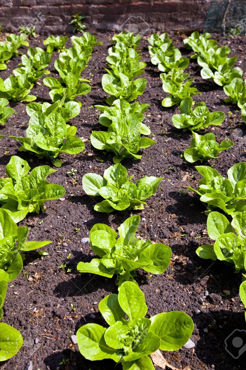 Rows Of Fresh Lettuce Plants Growing In A Vegetable Garden Stock