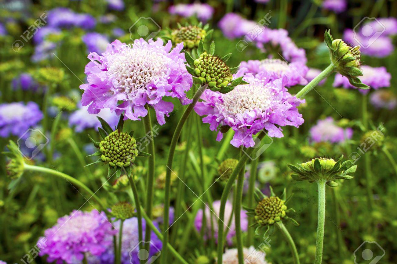 Scabious plant Scabiosa columbaria Pink Mist in a garden - 19825524