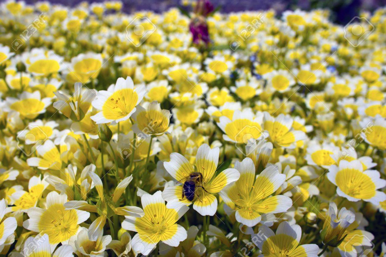 Yellow And White Flowers Limnanthes Douglasii Is Commonly Known