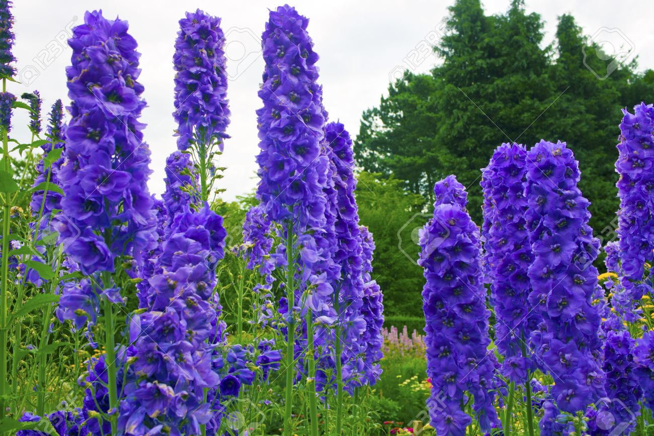 Tall delphiniums flowers in a herbaceous border of an English Garden - 21259180