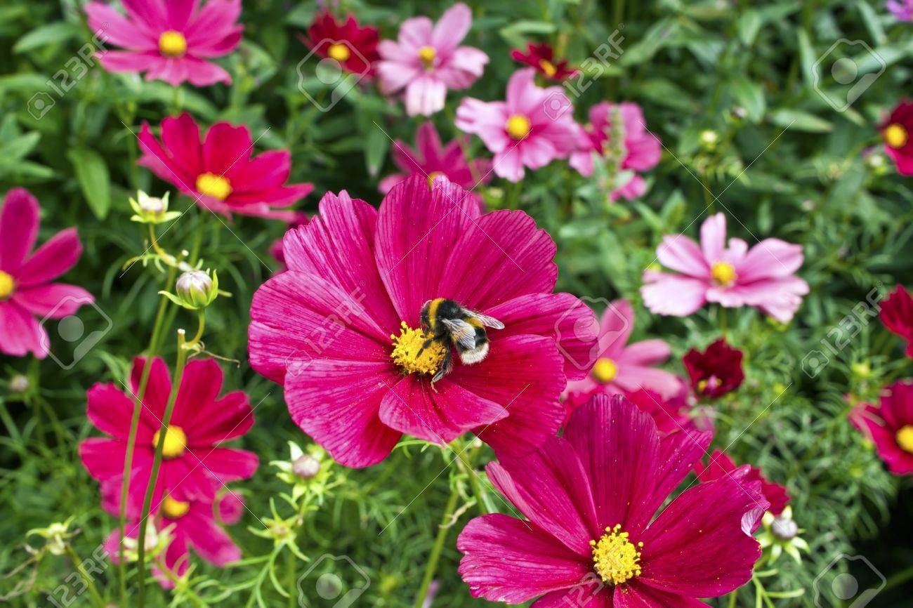 Cosmos Flowers In A Cottage Garden Stock Photo Picture And