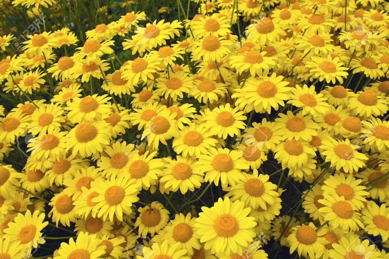 Marguerite Daisy Yellow Anthemis Tinctoria Kelwayi in a garden - 21325638
