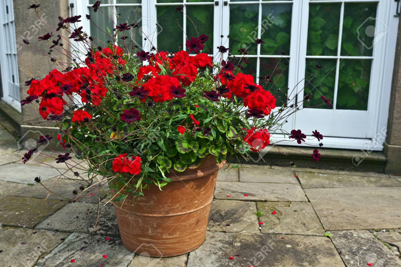 Large Terracotta Planter With Red Geraniums And Chocolate Cosmos ...