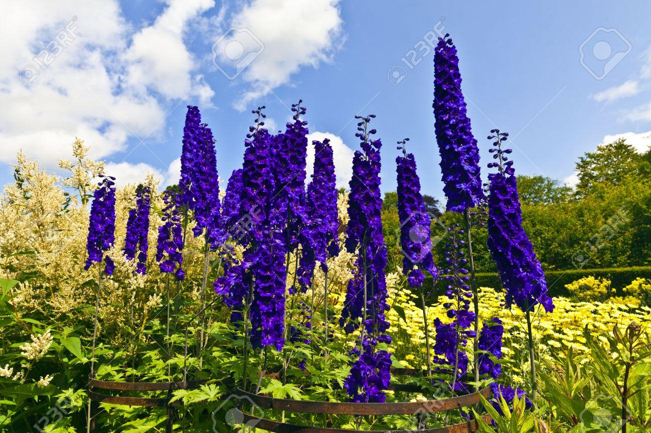 Außergewöhnlich Hohe Blaue Rittersporn Und Astilbe Blühende Pflanzen In Einem #JU_52