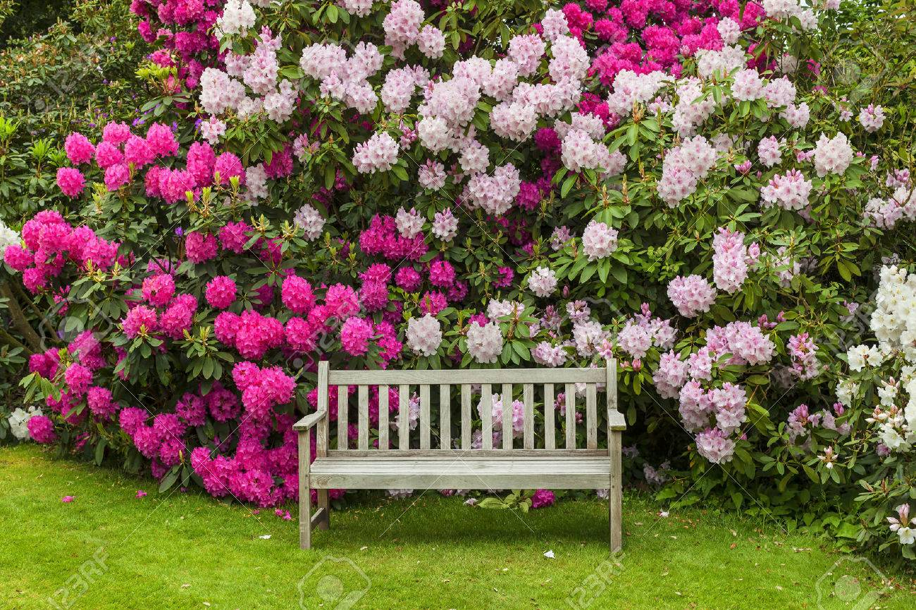 Rhododendron garden with wooden bench. - 52755454