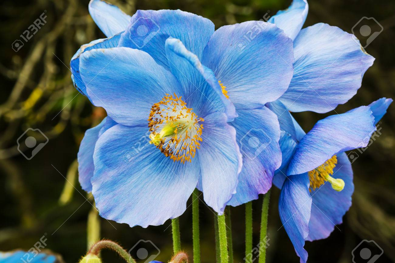 Large Flowers Of Meconopsis Himalayan Blue Poppy Close Up Stock