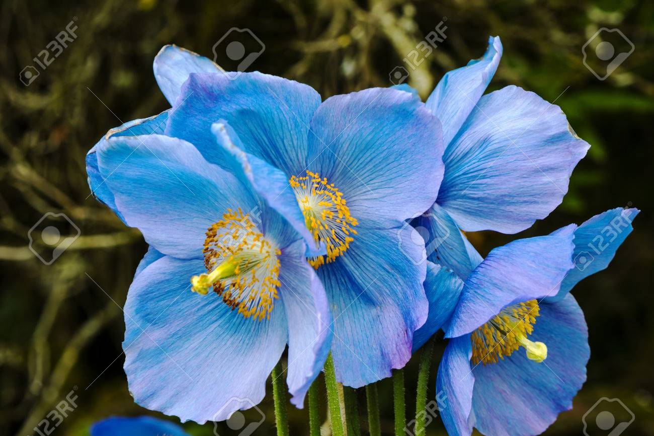 Large flowers of meconopsis himalayan blue poppy close up stock large flowers of meconopsis himalayan blue poppy close up stock photo 79300029 mightylinksfo