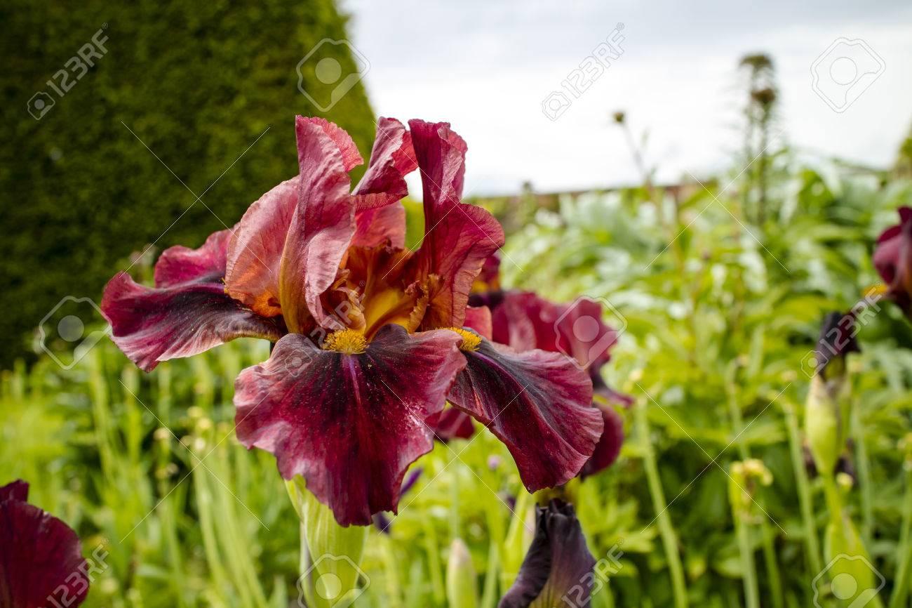 Deep Bourgogne Couleur Iris barbu dans la bordure herbacée d\'un jardin.