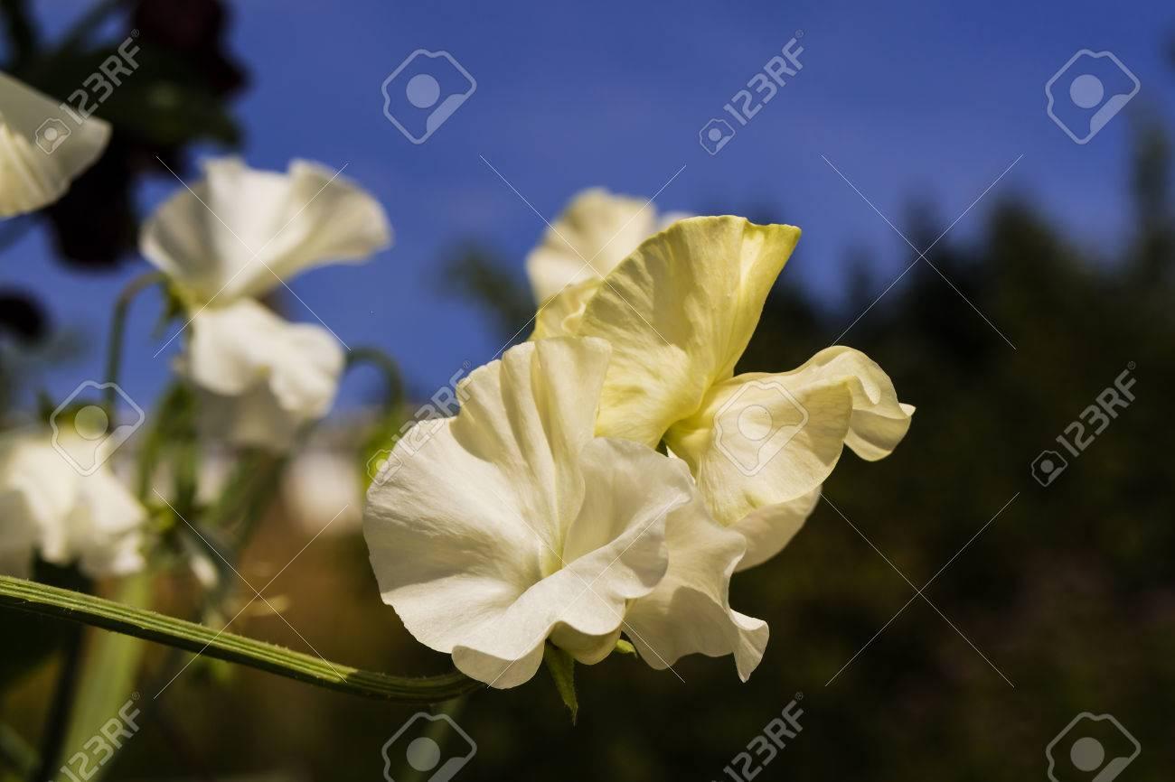 White sweet peas lathyrus odoratus flowers close up in a garden white sweet peas lathyrus odoratus flowers close up in a garden stock mightylinksfo