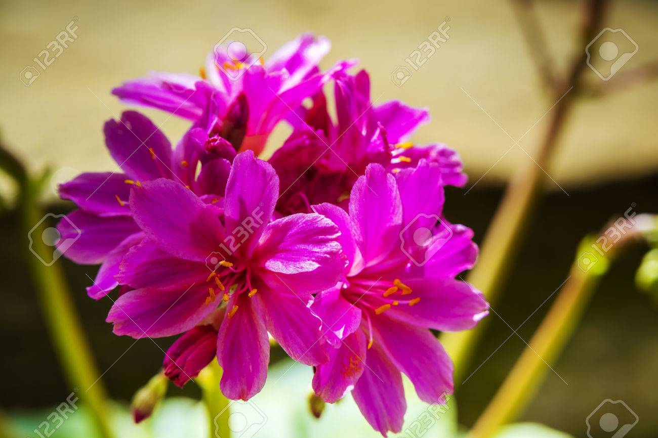 Small pink flowers of an alpine perennial plant lewisia elise stock small pink flowers of an alpine perennial plant lewisia elise stock photo 84223118 mightylinksfo