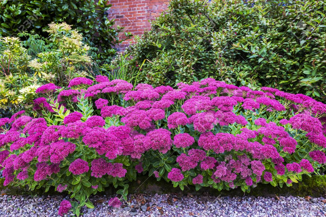 Purple Sedum Flowering Perennial Plants In A Herbaceous Border. Stock Photo    87988879