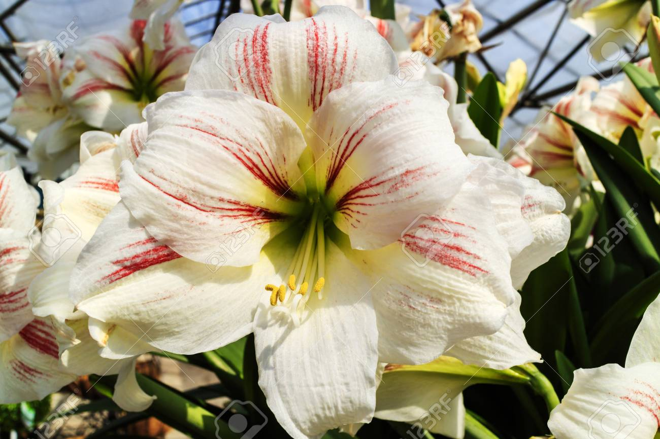 Large Trumpet Like White With A Touch Of Pink Amaryllis Flowers