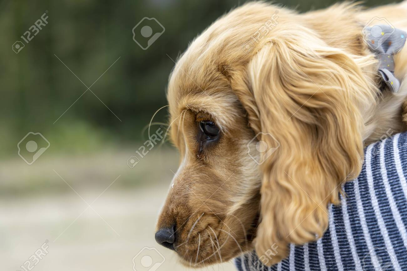 Portrait Of Red Cocker Spaniel Puppy Stock Photo Picture And Royalty Free Image Image 150531864