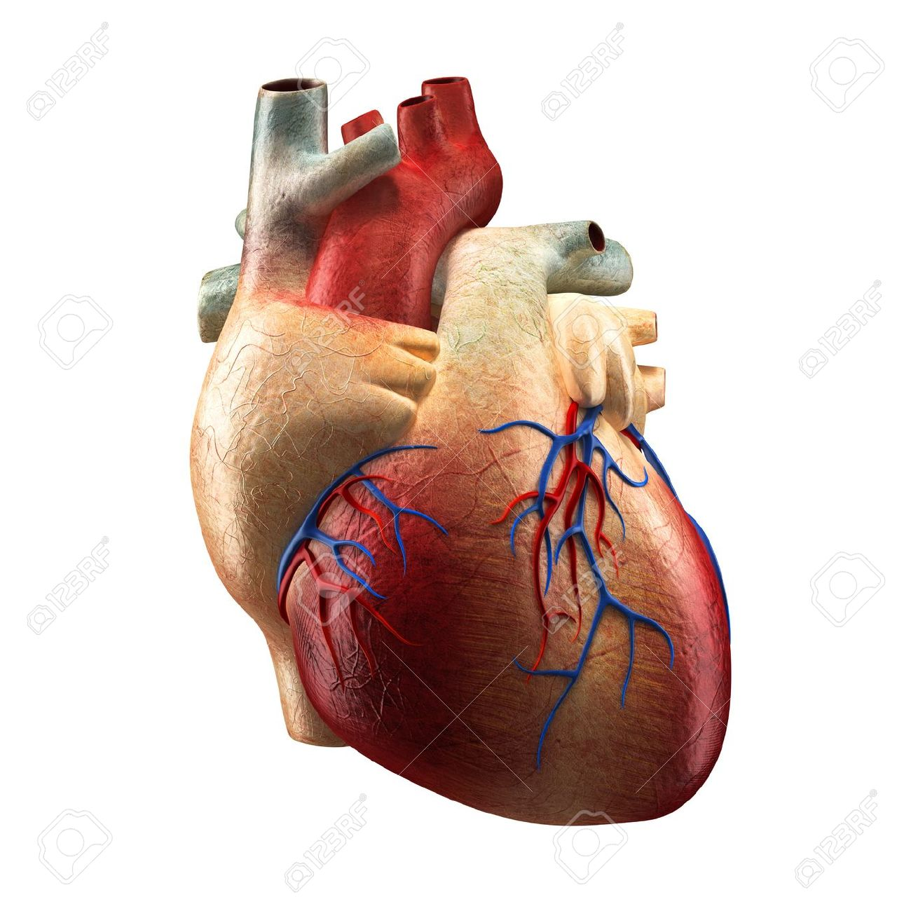 Real Heart Isolated On White - Human Anatomy Model Stock Photo ...