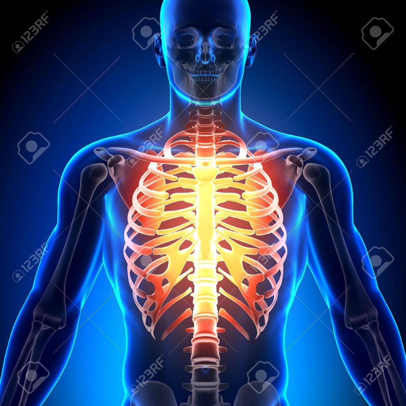 Caja Torácica Esquelética Medical Anatomía Fotos, Retratos, Imágenes ...