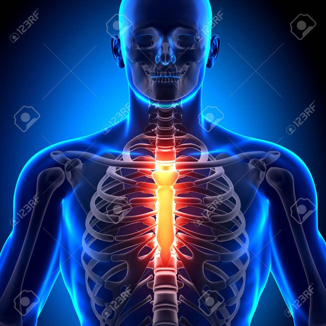 Esternón Hueso Huesos Anatomía Fotos, Retratos, Imágenes Y ...