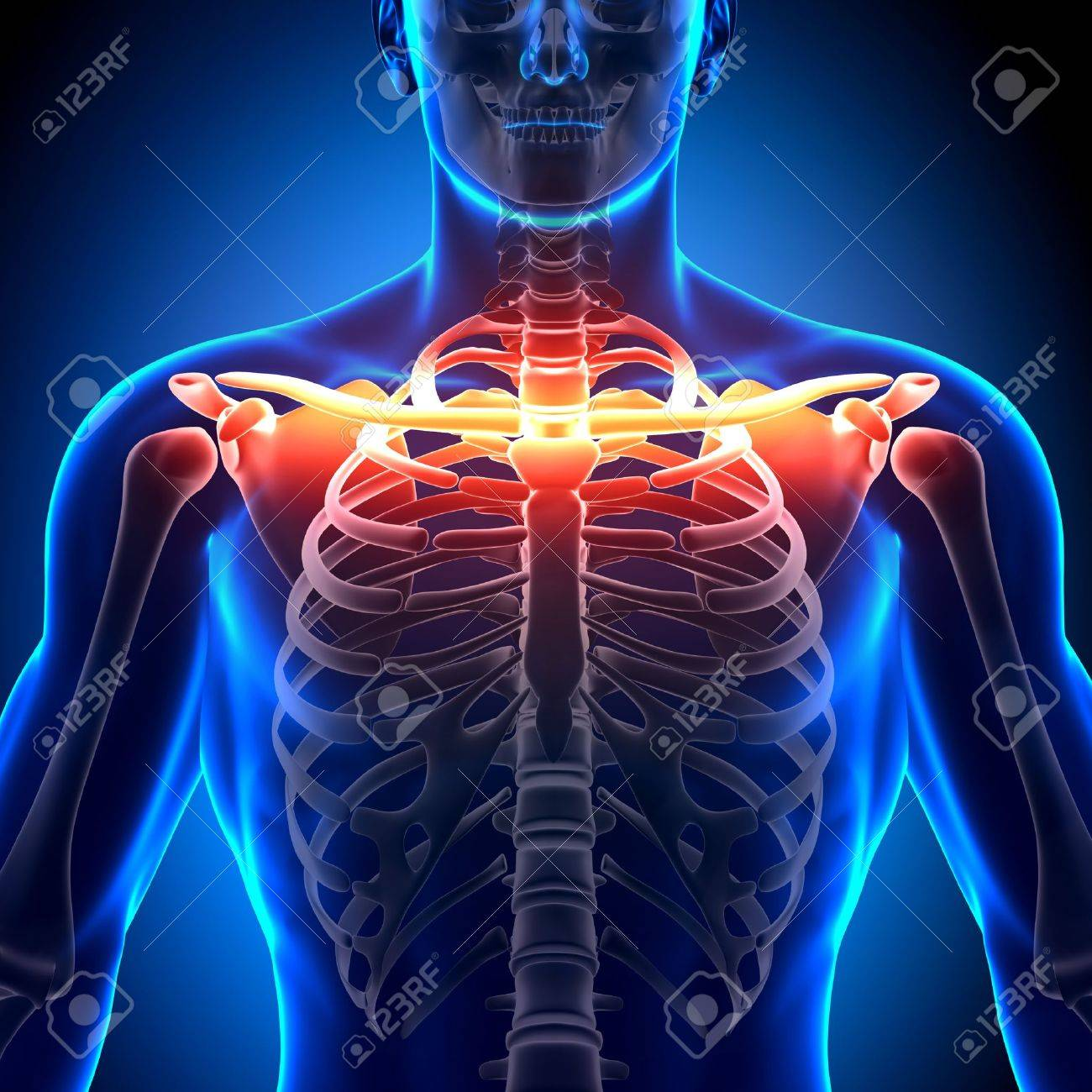 Clavicle Bone Anatomy Bones Stock Photo Picture And Royalty Free