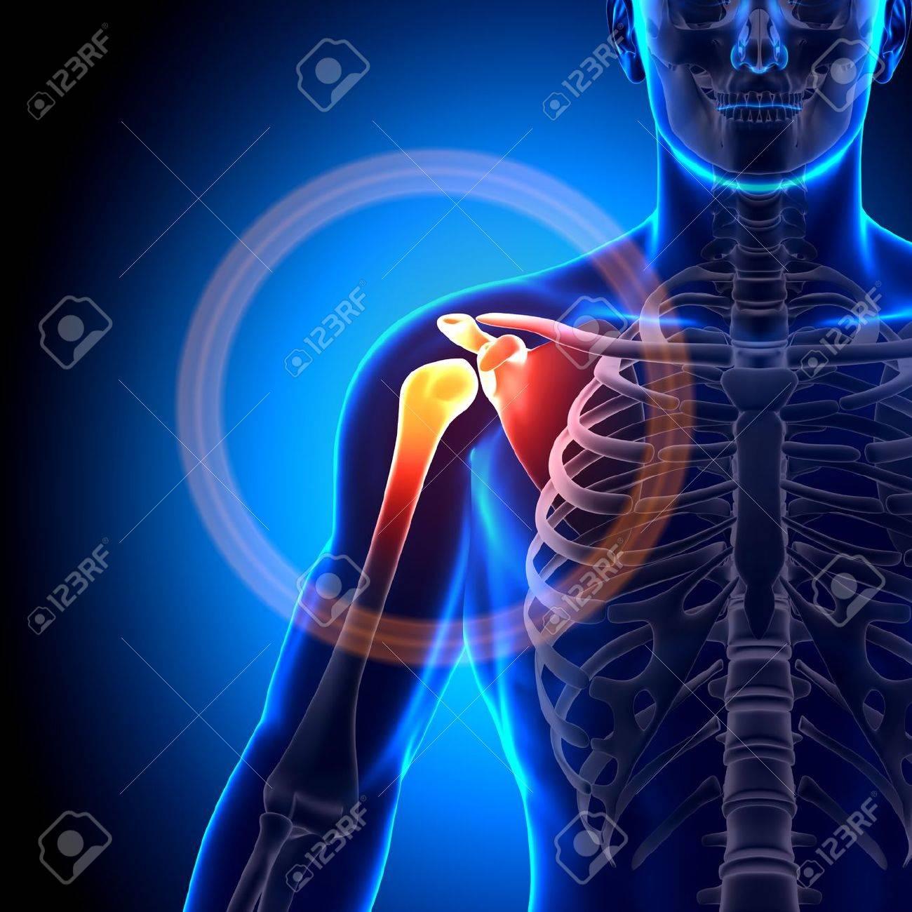 Hombro Huesos Conjuntas Anatomía Fotos, Retratos, Imágenes Y ...