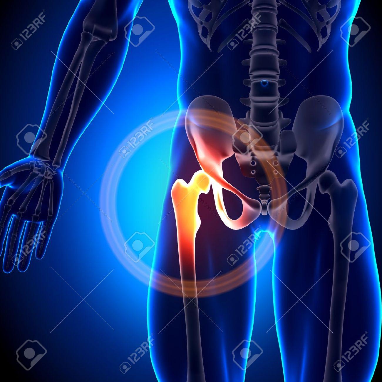 Hip Bones Conjuntas Anatomía Fotos, Retratos, Imágenes Y Fotografía ...