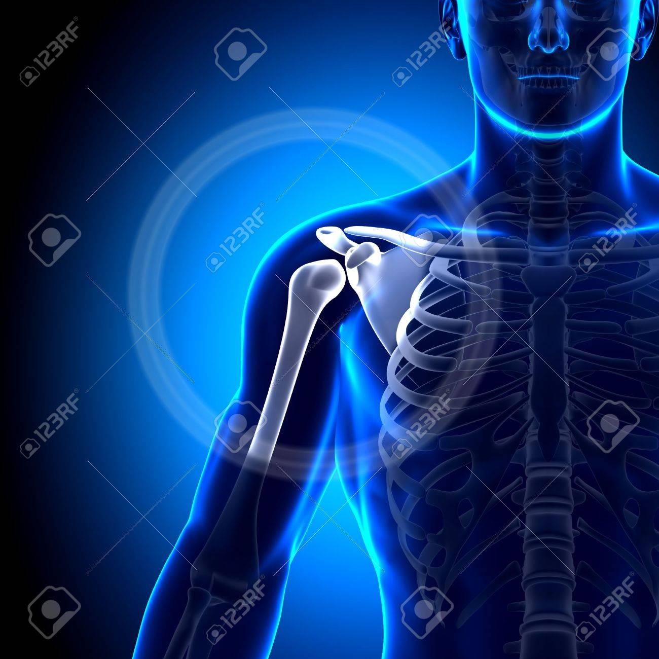 Hombro Escápula Clavícula Anatomía Huesos Fotos, Retratos, Imágenes ...