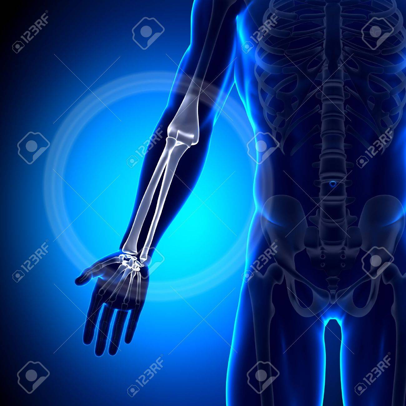 Radius Ulna Anatomy Bones Stock Photo, Picture And Royalty Free ...