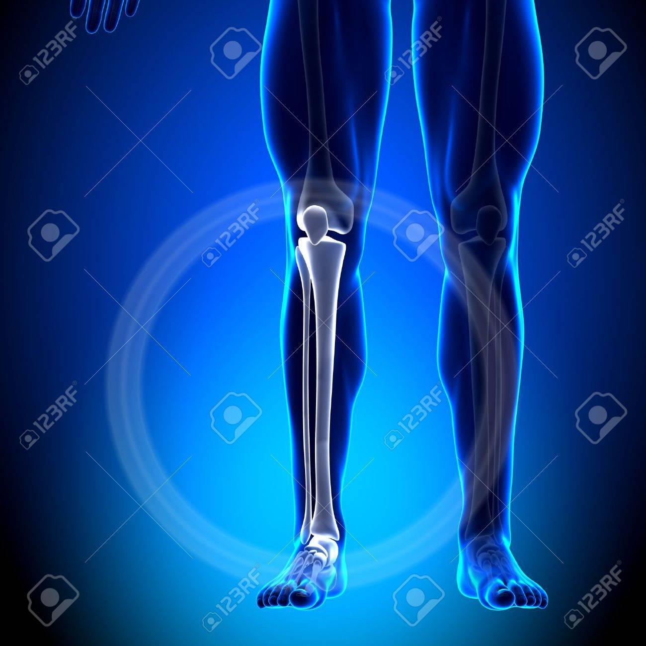 Tibia Peroné Becerro Anatomía Huesos Fotos, Retratos, Imágenes Y ...
