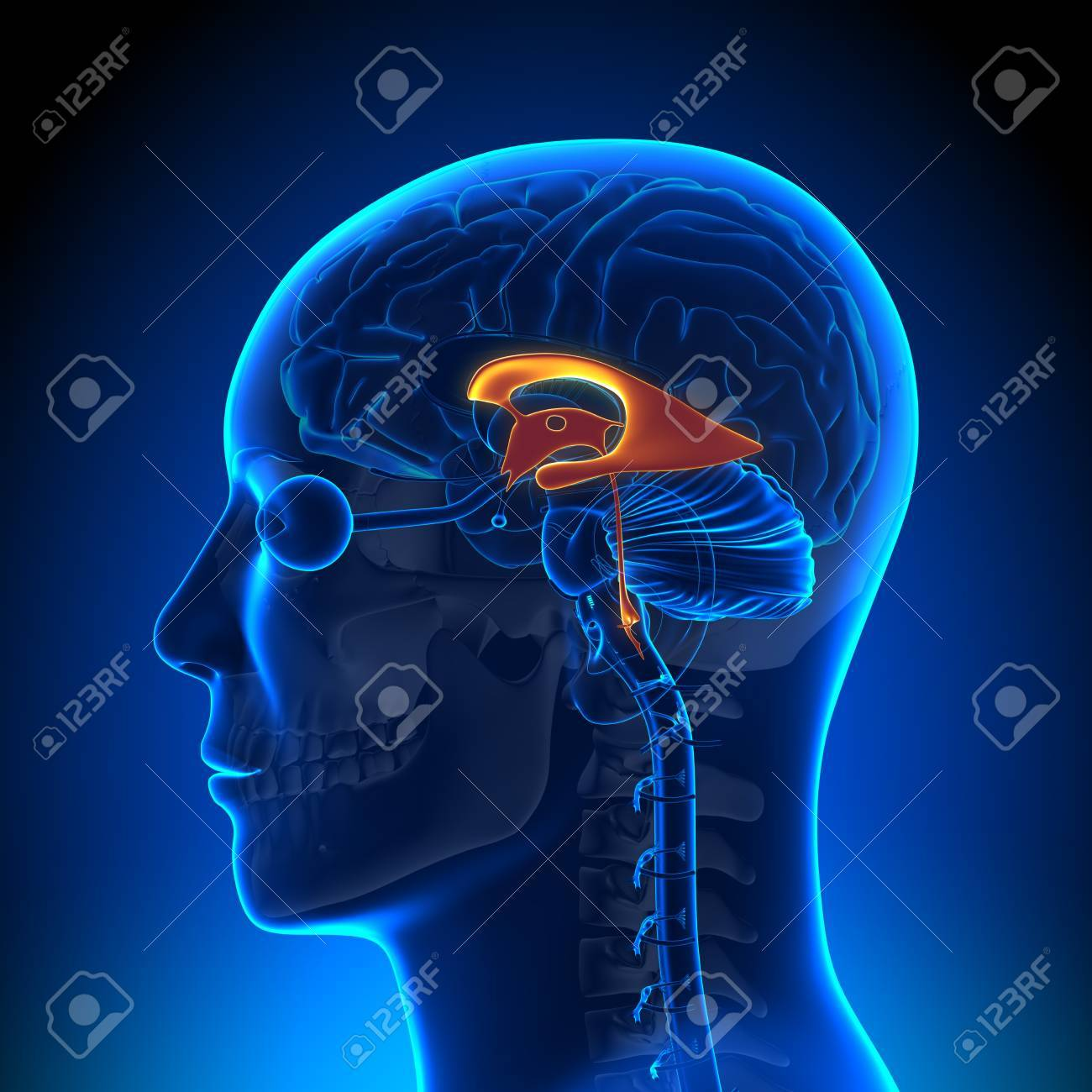 Brain Anatomy Ventricles Stock Photo Picture And Royalty Free Image