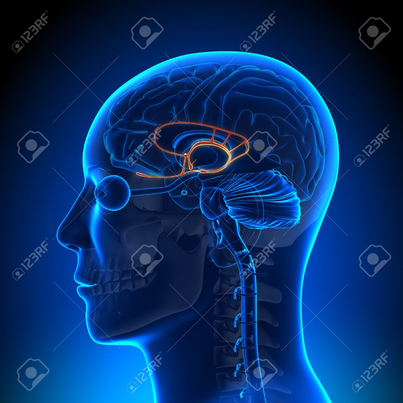 Brain Anatomy Limbic System Stock Photo, Picture And Royalty Free ...