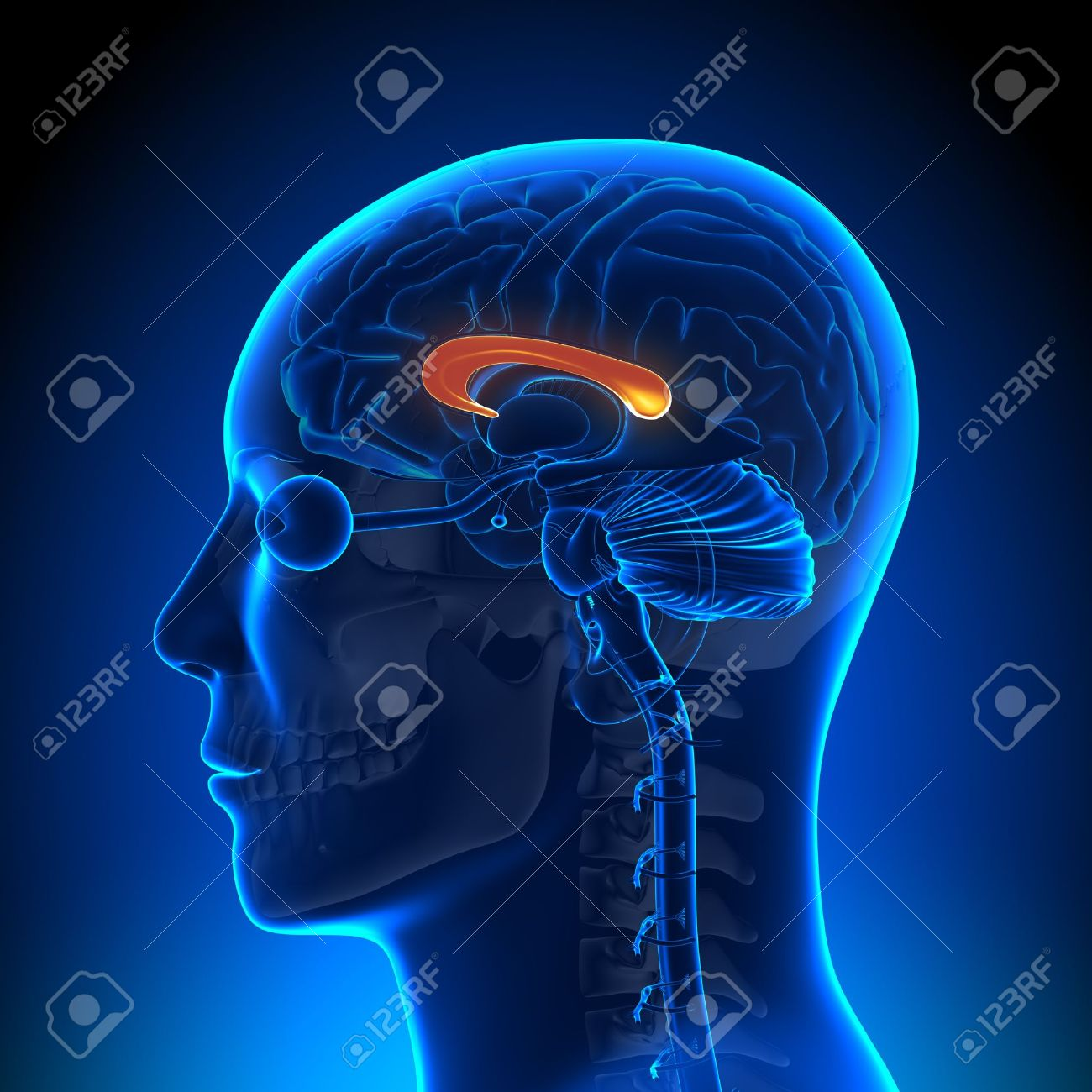 Brain Anatomy Corpus Callosum Stock Photo, Picture And Royalty Free ...