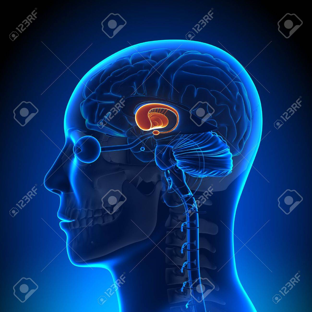 Brain Anatomy Basal Ganglia Stock Photo Picture And Royalty Free