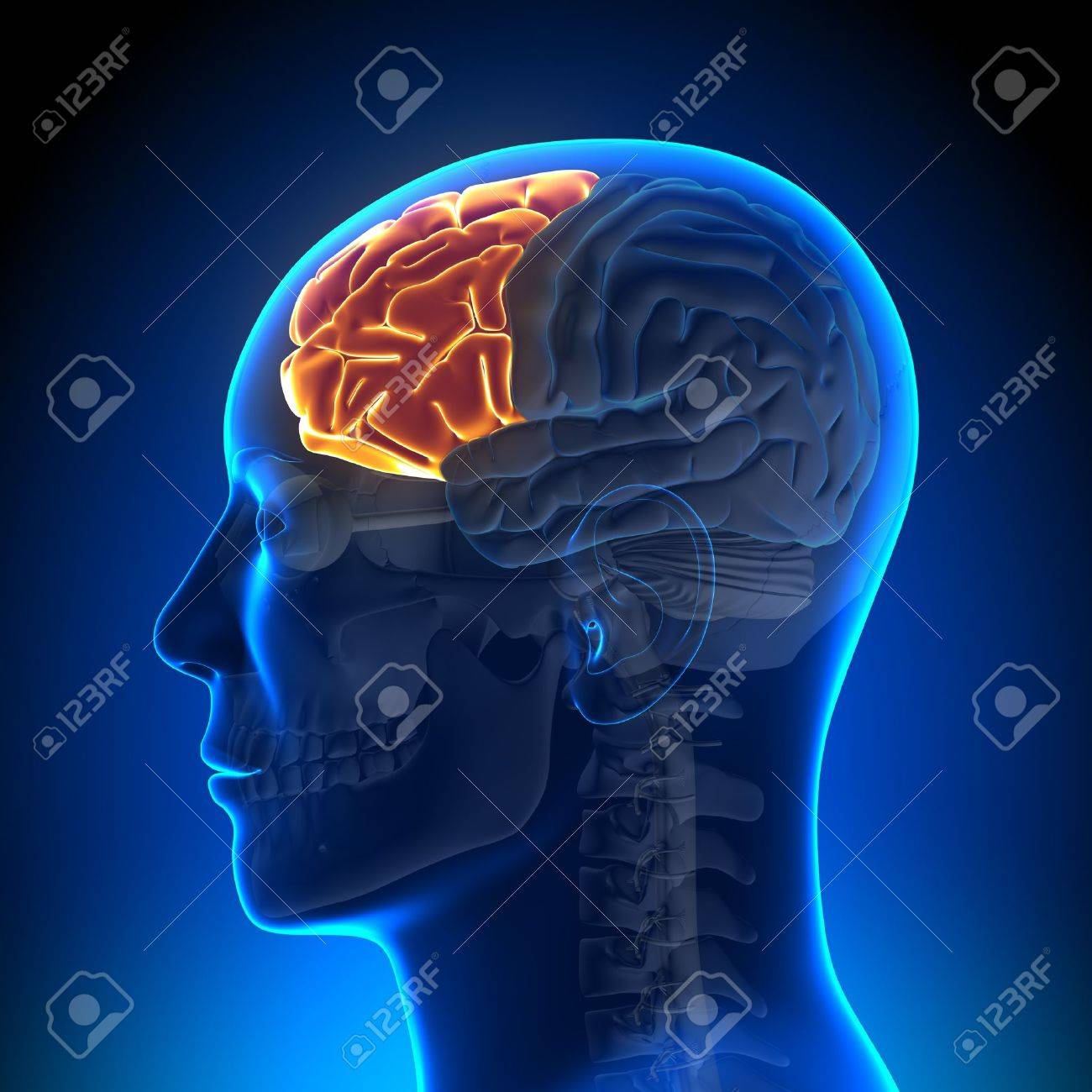 Brain Anatomy Frontal Lobe Stock Photo Picture And Royalty Free