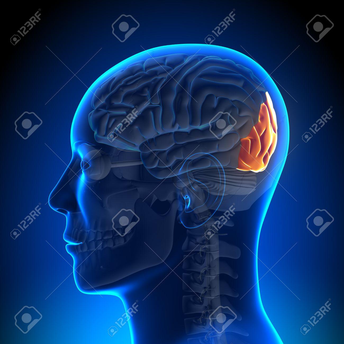 Anatomía Del Lóbulo Occipital Fotos, Retratos, Imágenes Y Fotografía ...