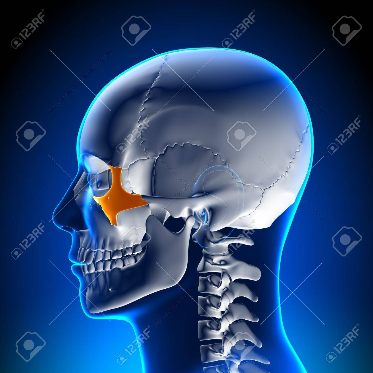 Brain Anatomy Zygomatic Bone Stock Photo Picture And Royalty Free