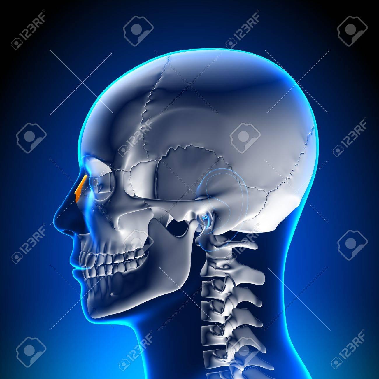 La Anatomía Del Hueso Nasal Fotos, Retratos, Imágenes Y Fotografía ...