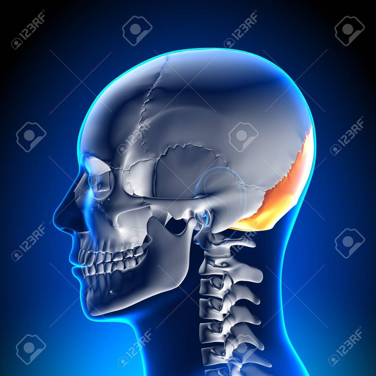 La Anatomía Del Hueso Occipital Fotos, Retratos, Imágenes Y ...
