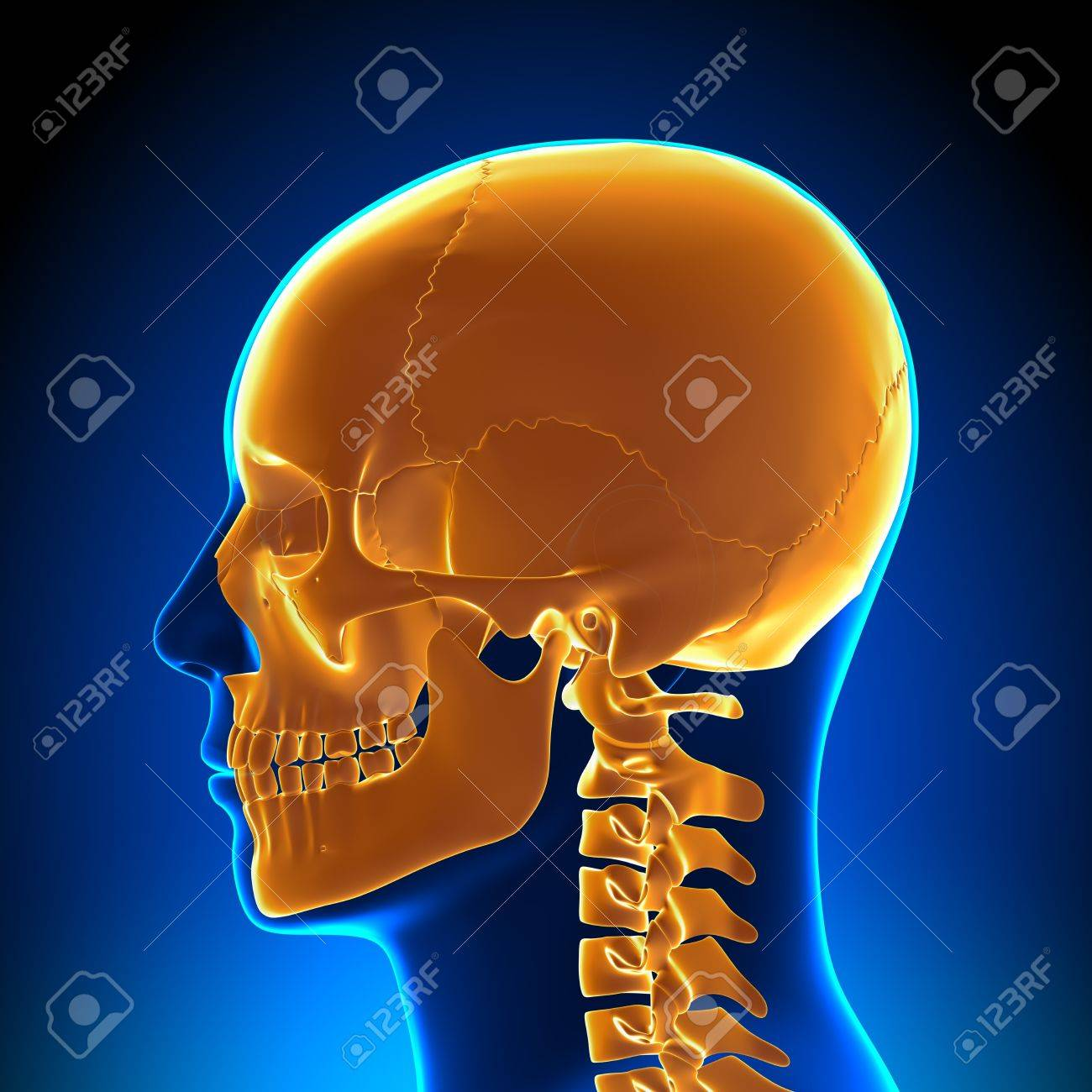 Brain Anatomy Orange Skull Stock Photo, Picture And Royalty Free ...