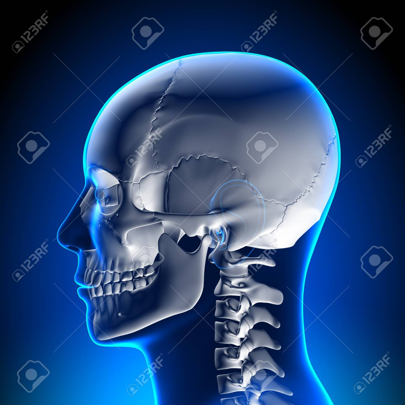 Brain Anatomy White Skull Stock Photo, Picture And Royalty Free ...