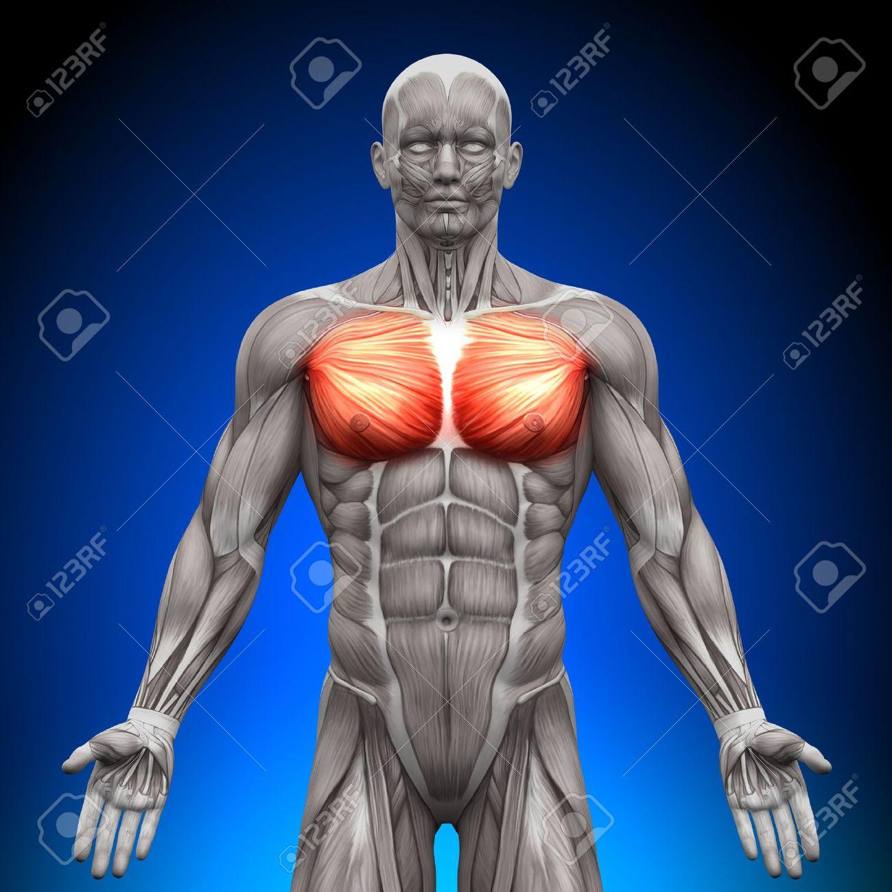 Chest Pectoralis Major Pectoralis Minor Anatomy Muscles Stock Photo ...