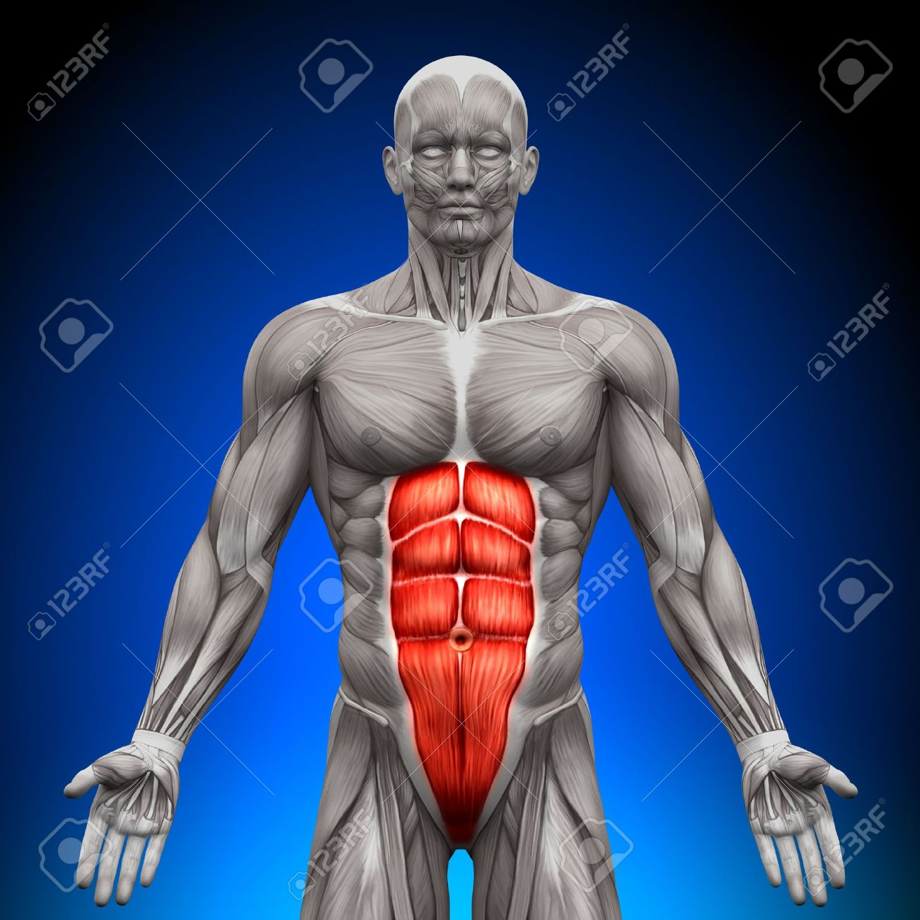 Abs Anatomy Muscles Stock Photo, Picture And Royalty Free Image ...