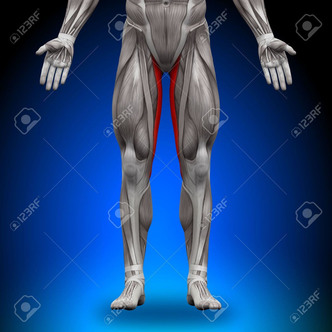 Gracilis Anatomy Muscles Stock Photo Picture And Royalty Free Image